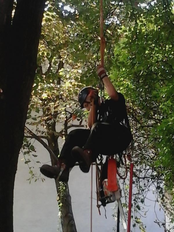 przycinanie drzewa z wykorzystaniem technik alpinistycznych